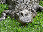 Alligator close up — Stock Photo