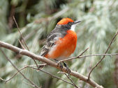 Crimson chat bird — 图库照片