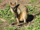 Swamp wallaby — Stock Photo