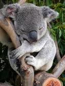 Australian koala — Stock Photo