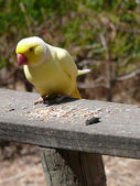 Yellow parrot — Stock Photo
