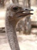 Ostrich close up — Stock Photo