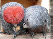 Gang-gang parrots — Stock Photo