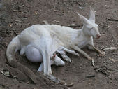 Albino kangaroo with joey — Stock Photo