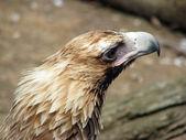 Wedge-tailed eagle — Stockfoto
