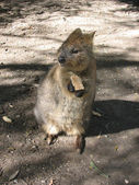 Australian quokka — Stock Photo