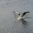 Pelican landing — Stock Photo
