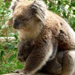 Stock Photo: Australain Koala