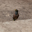 Noisy miner - Foto Stock