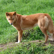 Golden dingo — Stock Photo #8401042
