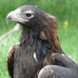 Wedge tailed eagle — Stock Photo #8401210