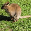 Stock Photo: Red necked wallaby