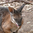 Parma wallaby — Stock Photo