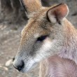 Agile wallaby — Photo