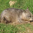 Wombat resting — Stock Photo