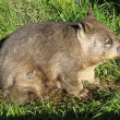 Wombat side view — Stock Photo #8402999