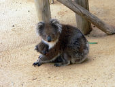 Koala family hug — Stock Photo