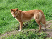 Golden dingo — Stock Photo