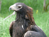 Wedge tailed eagle — Stock Photo