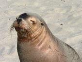 Sealion / seal — Stock Photo