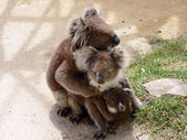 Koala family hug — Stock Photo