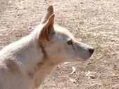 Golden dingo — Stockfoto