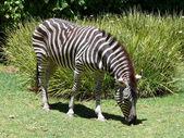 Zebra eten — Stockfoto
