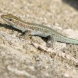 Lizard on a stone - Foto de Stock