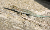 Lizard on a stone — Stock Photo