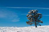 """«одинокая сосна в снегу"""" — Стоковое фото"""