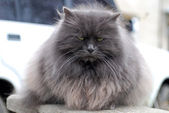 """Gray fluffy cat with a stare"" — Stock Photo"