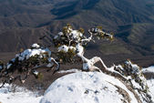 """Mountain pine on breakage over a valley"" — Stock Photo"