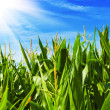 Corn  field - Stock Photo
