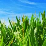 Corn field — Stock Photo #7993240