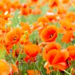 Flower red poppies — Stock Photo