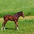 Foal field — Stock Photo