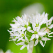 Wild garlic - Foto Stock