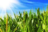 Corn field — Stock Photo