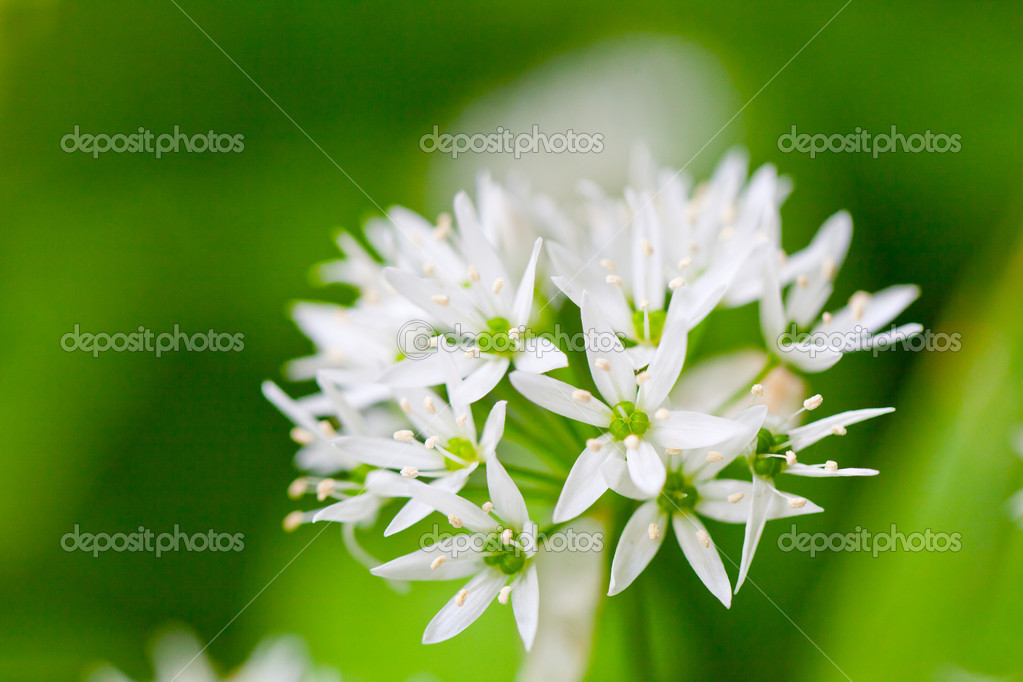 Wild Garlic Chives Wild Garlic Broad Leaved