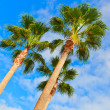 Tree palms — Stock Photo