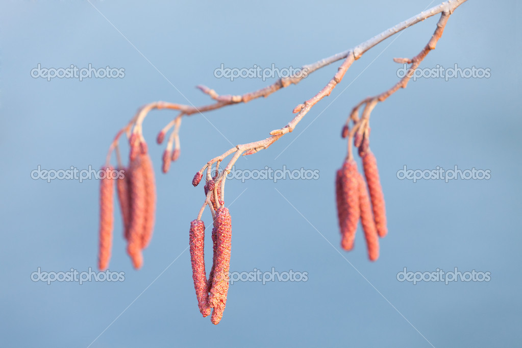 Alder branch on sky blue background  Stock Photo #8696920