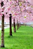 樱花 — 图库照片