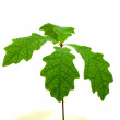 Oak sapling with green leaves — Stock Photo