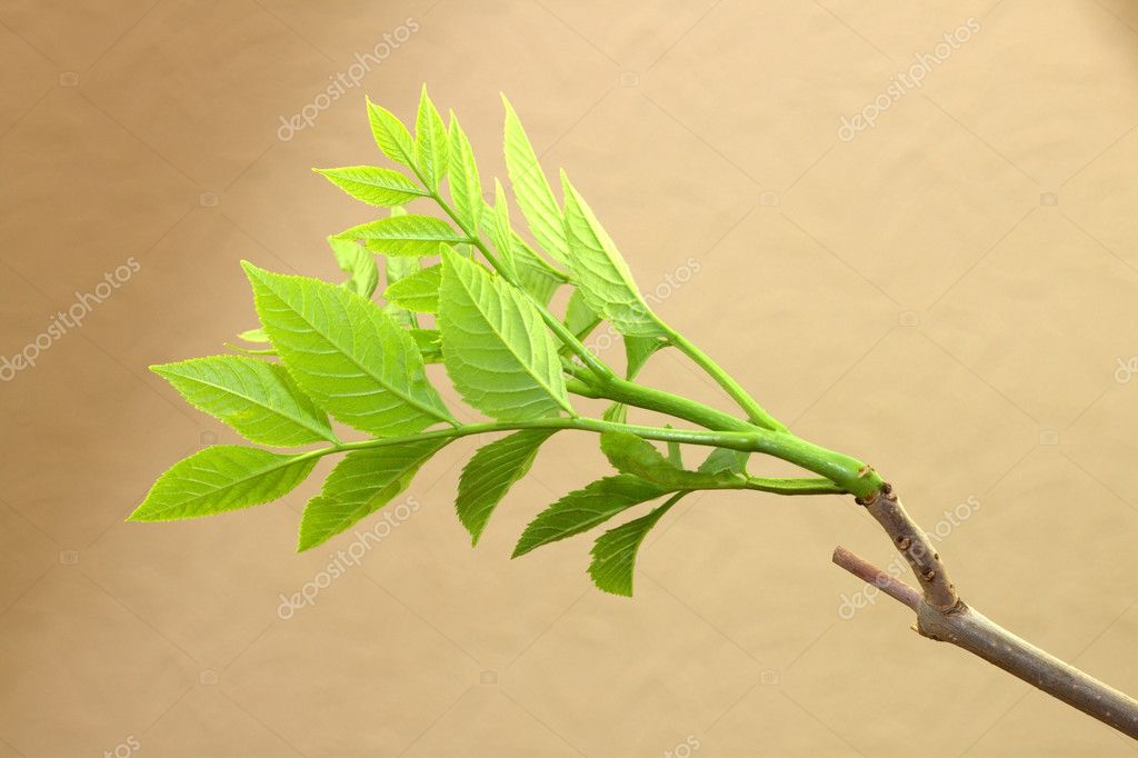 Ash-tree branch — Stock Photo #10380889