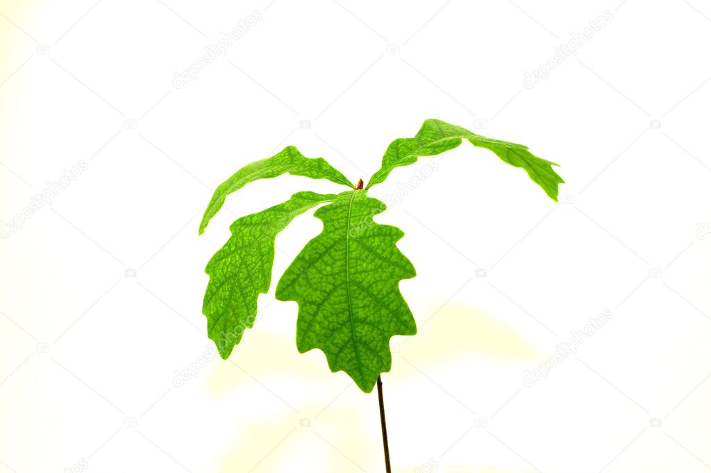 Oak sapling with green leaves — Stock Photo #10380902