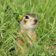 Gopher in a grass — Foto de Stock