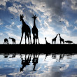 Herd of giraffes — Stock Photo #10104472