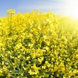 Stock Photo: Rapeseed field