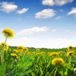 Dandelions — Stock Photo #10104533