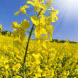 Rapeseed field — Stock Photo #10104547